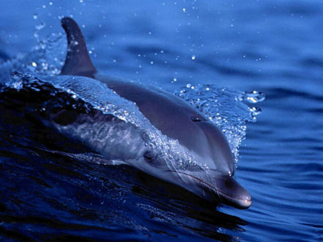 Of gorgeous dolphins playing leaping above the water and diving